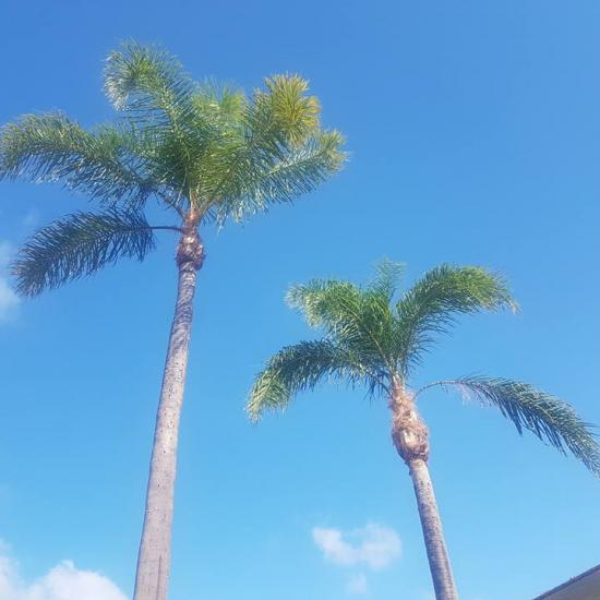 palm tree maintenance after shot 2
